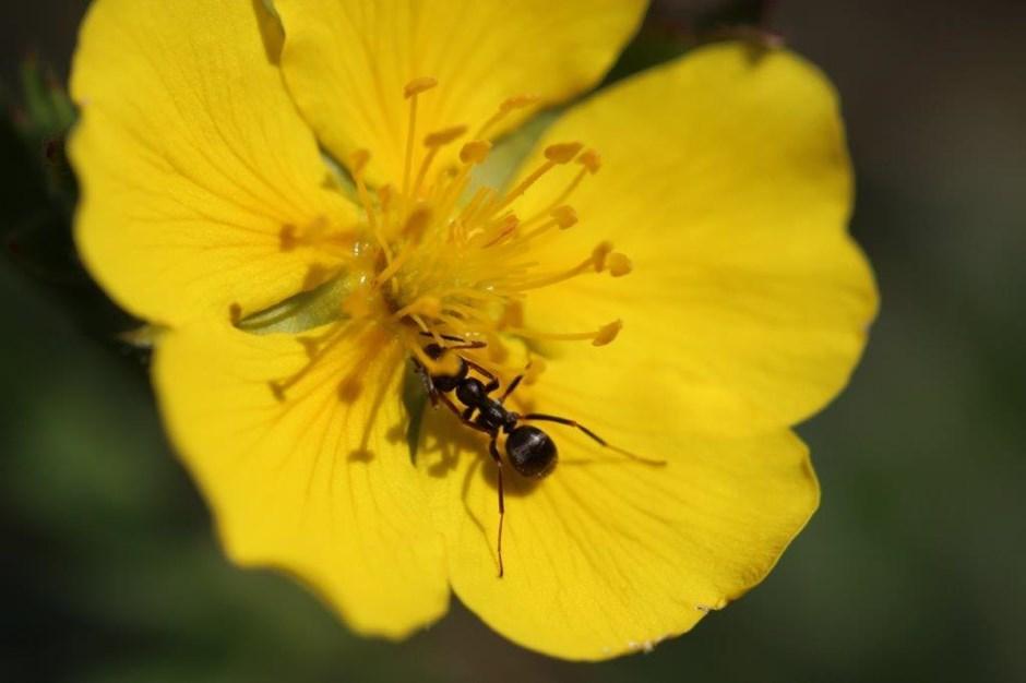 Die Ameise