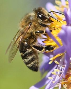 Vom Artensterben bedroht: Eine Wildbiene bei der Arbeit.
