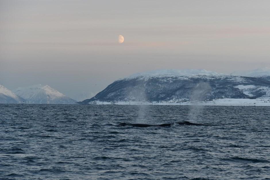 Wasserspielende Wale  im Winter