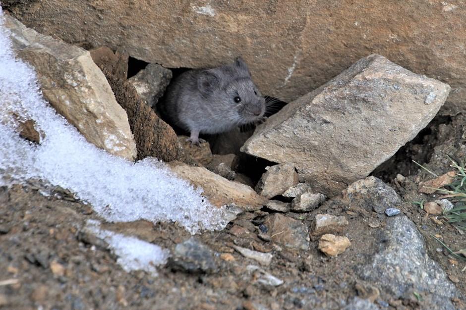 Mäuseleben auf 3000 Metern