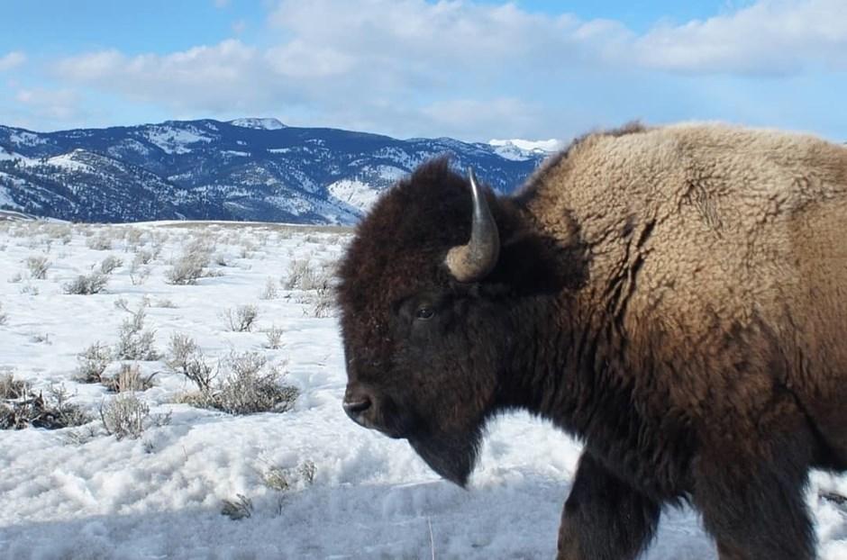 Wildes Bison am Straßenrand