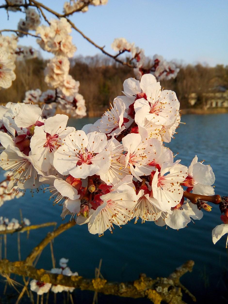 Obstblüte im März